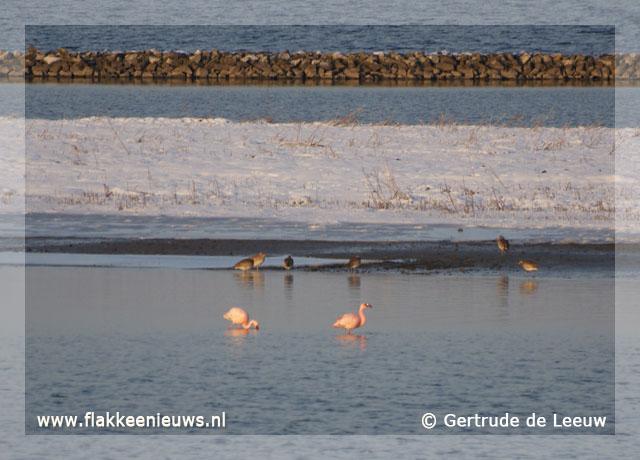 Foto behorende bij Flamingo