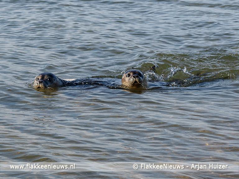 Foto behorende bij Burgemeester en dochters laten zeehond vrij bij Ouddorp