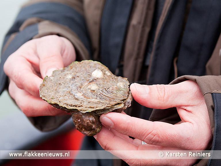 Foto behorende bij Uniek herstelproject voor verloren oesterriffen en mosselbanken in zee