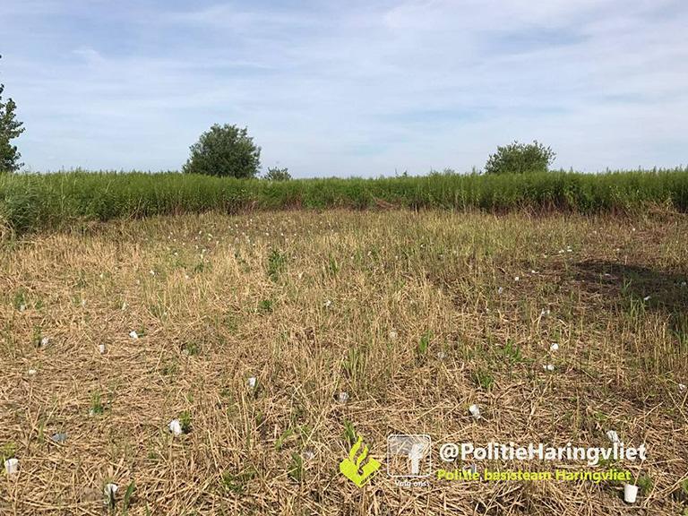 Foto behorende bij Vier hennepplantages opgerold op Tiengemeten