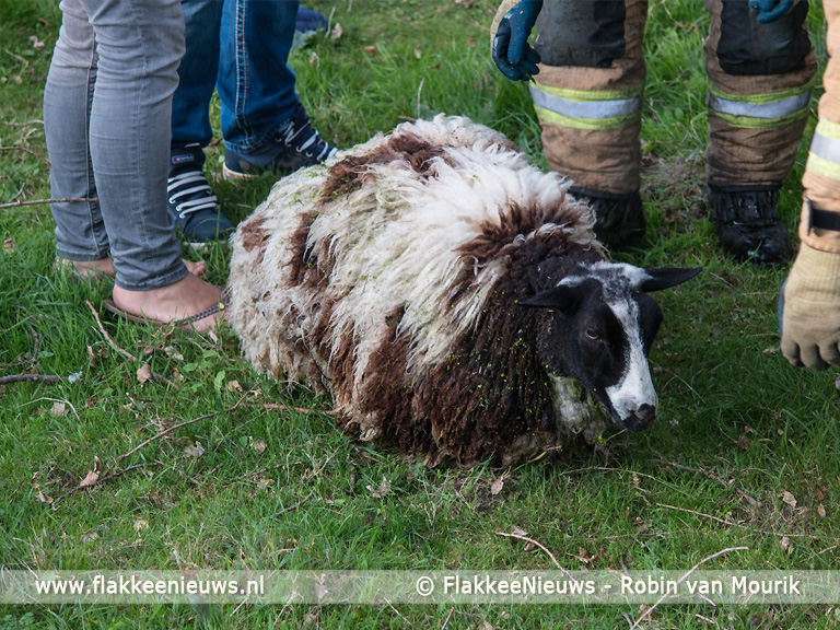 Foto behorende bij Stellendamse brandweer heeft schaapje op het droge