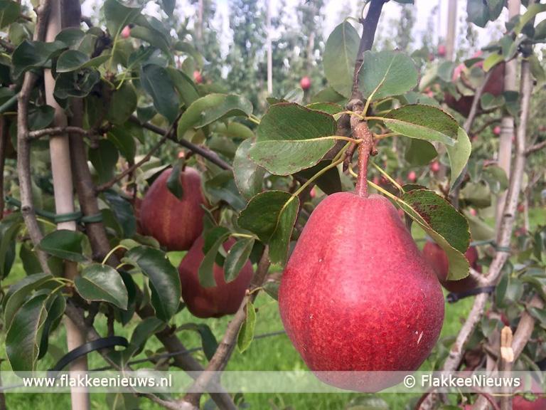 Foto behorende bij Kletsnatte rode perenoogst in Ooltgensplaat