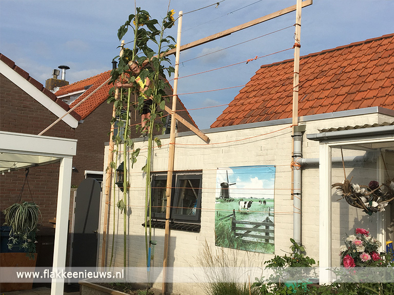 Foto behorende bij Hoogste zonnebloem Goeree-Overflakkee